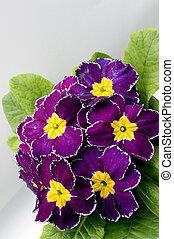 Primula Accaulis Flower 2