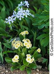 Primula auricula and phlox divaricata in spring mixed border...