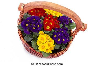 Primula flower