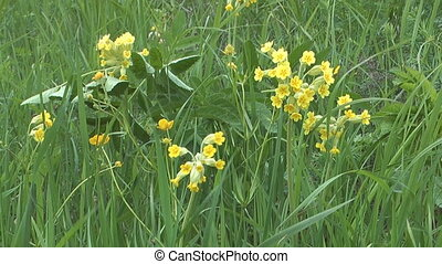 Primula flowers. - Close-up shot of wild flowers primrose on...