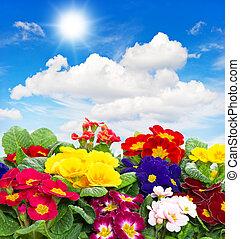 primula flowers on blue sky background