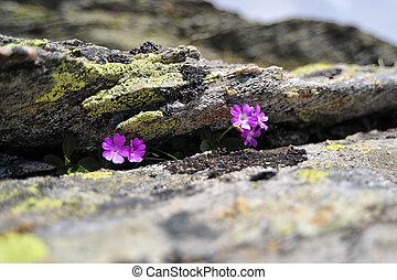 Primula Hirsuta between the rocks in mountain