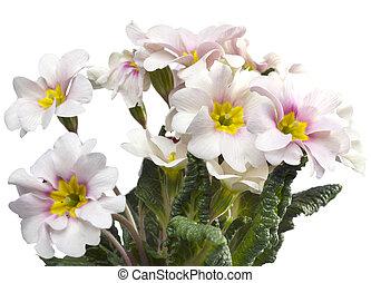 Primula on white background