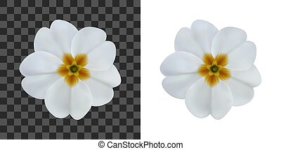 Primula, primrose flower isolated on white. To design with flowers for packaging, cards, greetings, offers, beauty industry, herbal, natural cosmetics, spa salons. Realistic vector illustration