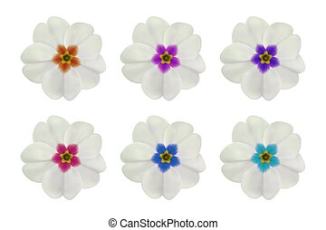 Primula, primrose flower on white. Set of 6 white flowers with different center color. To design with flowers for packaging, cards, greetings, offers, beauty, herbal, cosmetics, spa. Realistic vector