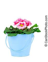 primula, secchio, fondo, piccolo, fiori bianchi