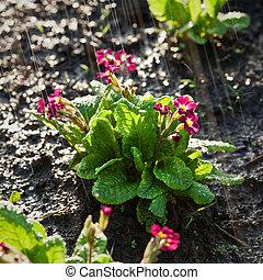 Primula under the rain in the garden
