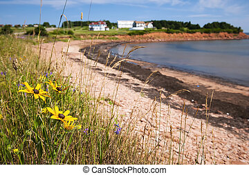Prince Edward Island coastline - Wildflowers on Prince...