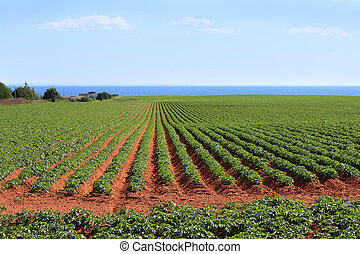 Prince Edward Island potato field - Potato field in the red...
