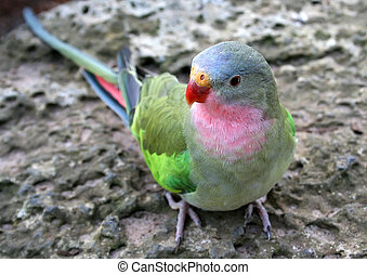 Princess Parrot, native to Australia. Scientific Name:...