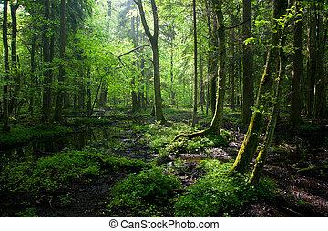 printemps, à feuilles caduques, stand, mouillé, bialowieza, levers de soleil, forêt