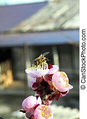 printemps, abeille