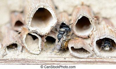 printemps, abeilles, hôtel, solitaire, accouplement, insecte...