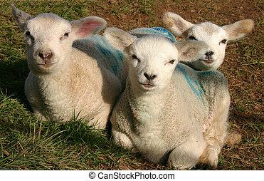 printemps, agneaux