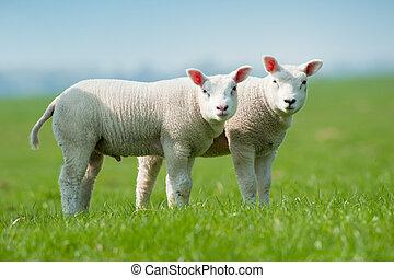printemps, agneaux, mignon