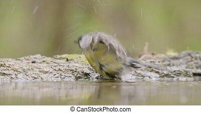 printemps, agréable, baigner, loin, voler, bois, mésange, ...