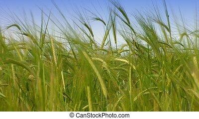 printemps, agr, blé, vert, field.