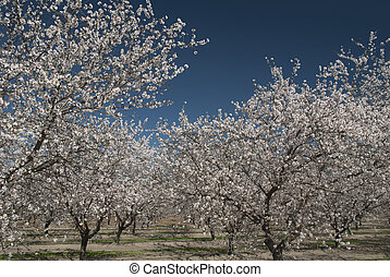 printemps, amande, fleur, arbres