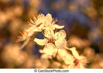 printemps, arbre, coucher soleil, fleurs