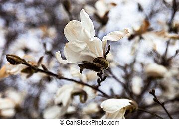 printemps, arbre magnolia, tôt, fleurs blanches