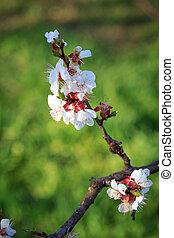 printemps, arbre, période, branche, abricot, flowering.
