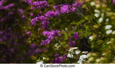 printemps, arbuste fleurissant