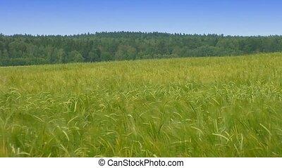 printemps, blé, champ vert