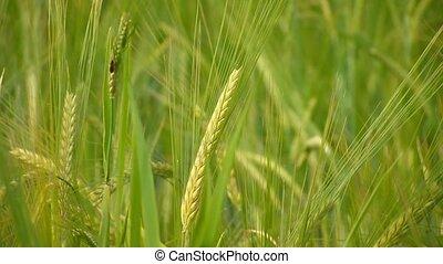 printemps, blé, vert, field.