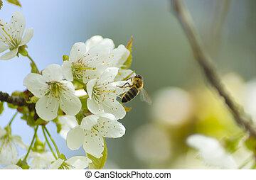 printemps, blanc, abeilles, fleurs, polliniser