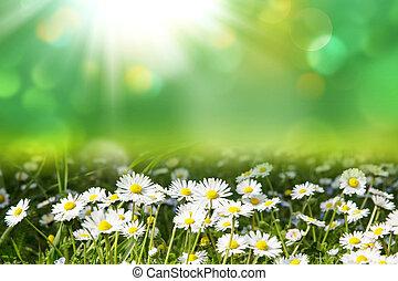 printemps, blanc, art, résumé, pâquerettes, sunrays, fond