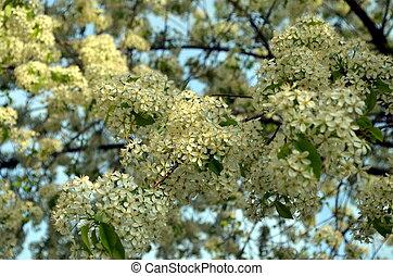 printemps, blanc, floraison, fleurs