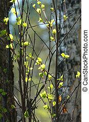 printemps, bois, branches, bouleau
