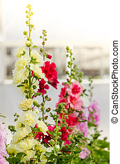 printemps, célébrité, fleur, rose trémière
