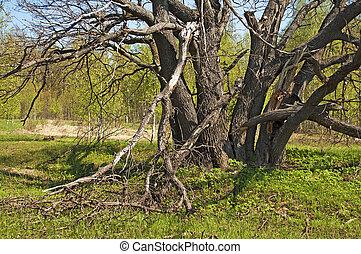 printemps, chêne, vieil arbre, temps