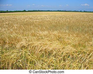 printemps, champ blé