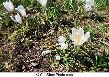 printemps, colchique, doux, croissant, fleurs blanches, terrestre
