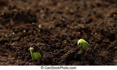 printemps, concombre, nouveau, naissance, seedlings., vie, ...