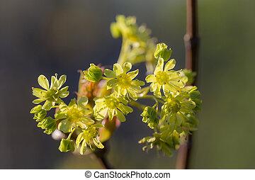printemps, erable fleurissant