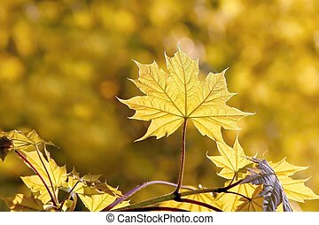 printemps, feuilles, érable