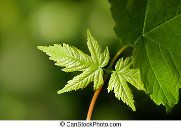 printemps, feuilles, pousse, nouveau