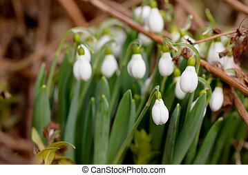 printemps, feuilles, quelques-uns, fond, temps, perce-neige