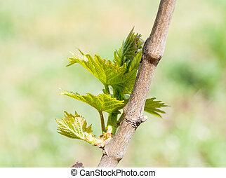 printemps, feuilles, vigne, vignoble, fond, saison