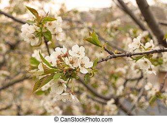 printemps, fleur, fleurs, blanc, arbre, cerise