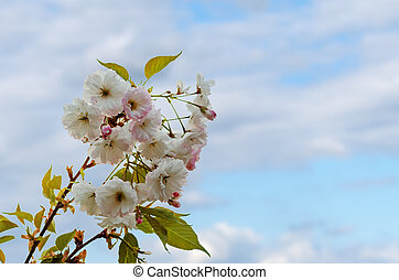 printemps, fleurir, arbre, fleurs roses