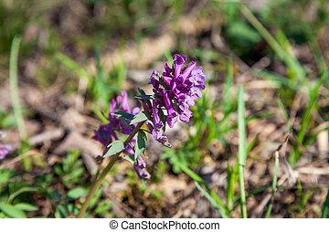printemps, fleurir, cava, flowers., forêt, corydalis