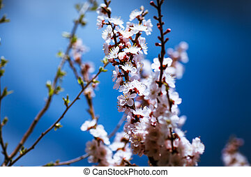 printemps, fleurir, ciel, fond, abricot