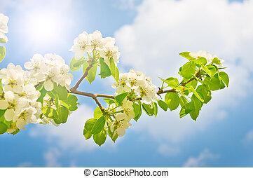 printemps, fleurir, poire