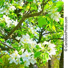 printemps, fleurir, pommiers