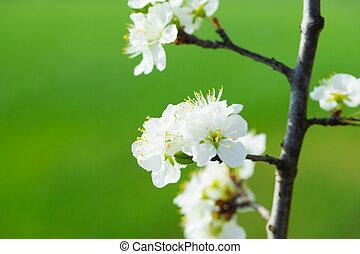 printemps, fleurs blanches, arbre