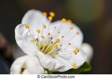 printemps, fleurs blanches, branche arbre